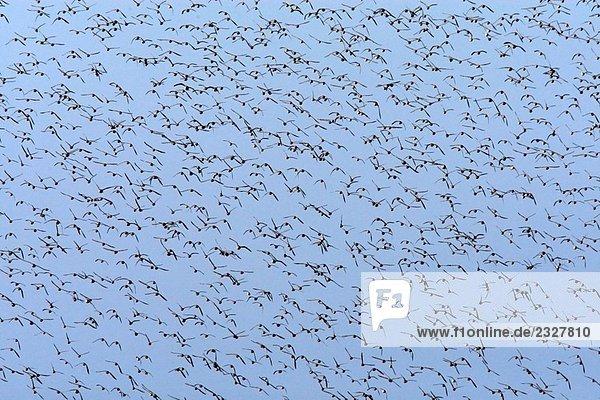 Alpenstrandläufer (Calidris Alpina)  Uferschnepfe (Limosa Limosa)  schwarz-aufgebläht Regenpfeifer (Pluvialis Squatarola) und Sandregenpfeifer (Charadrius Hiaticula). Parc Ornithologique du Teich. Arcachon. Gironde. Frankreich