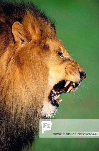 Roaring Löwen (Panthera Leo)