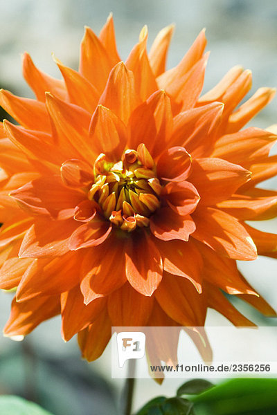 Orange dahlia  close-up