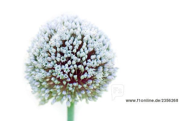 Allium  Nahaufnahme Allium, Nahaufnahme