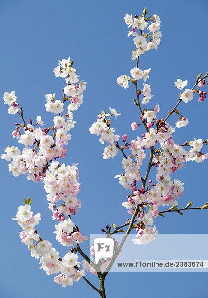 Blühender Zweig von einem Obstbaum