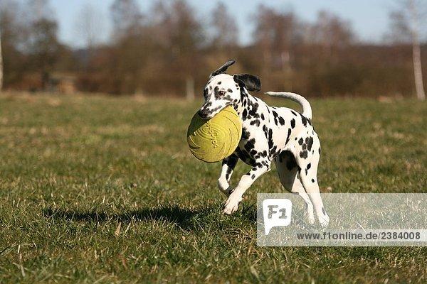 Dalmatinischen mit Frisbee im Maul