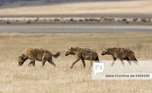 Drei Hyänen  die über eine Ebene laufen.
