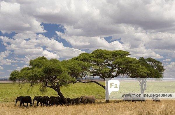 Eine Elefantenherde steht unter Akazienbäumen.