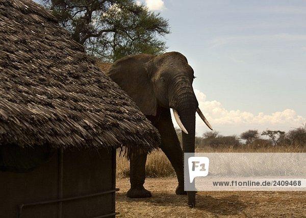 Ein Elefant  der neben einem strohgedeckten Gebäude läuft.