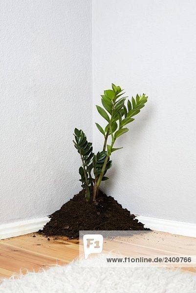 Eine Pflanze  die aus einem Haufen Dreck in der Ecke eines Wohnzimmers wächst.