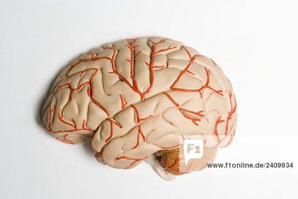 Ein anatomisches Modell des menschlichen Gehirns