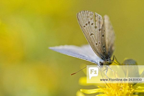 Gewöhnlicher blauer Schmetterling (Polyommatus icarus) auf der Blüte ruhend