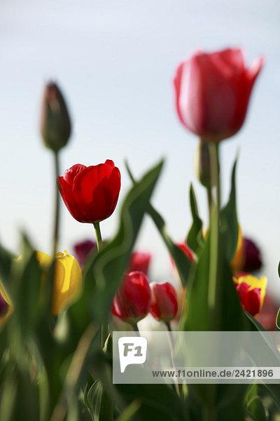 Tulpen (Tulpen) blühend