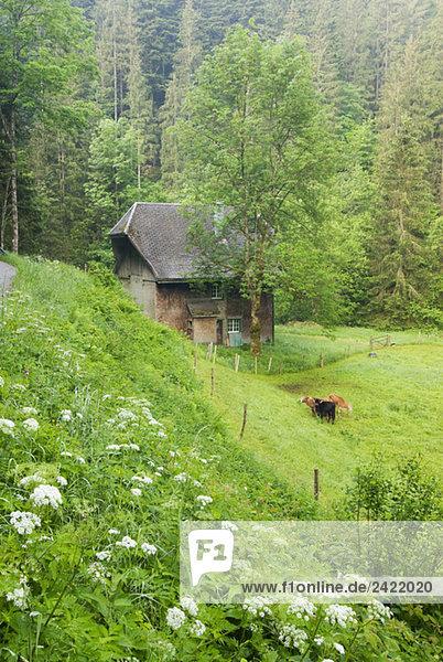 Germany  Black forest  Wildgutachtal  mountain pasture Germany, Black forest, Wildgutachtal, mountain pasture