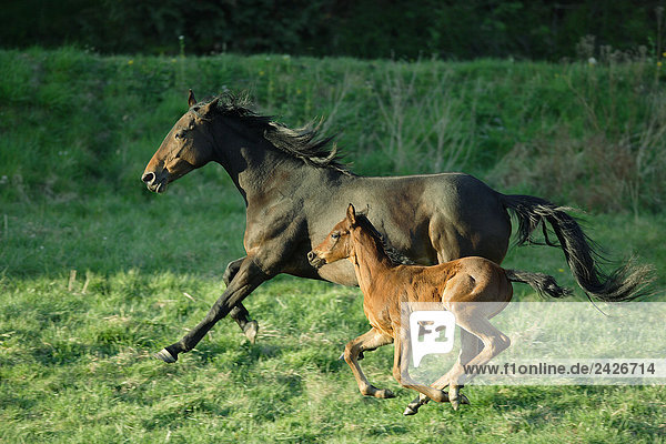 Anglo Arabian horse with foal on meadow