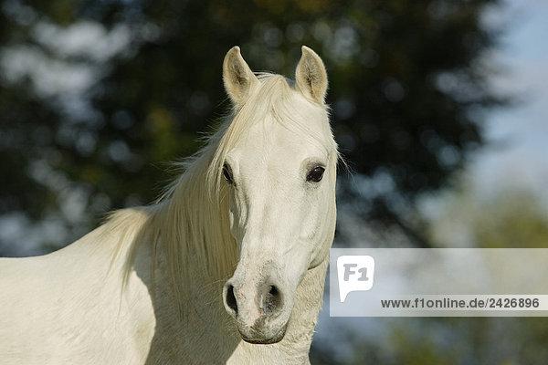 Arabian horse - portrait
