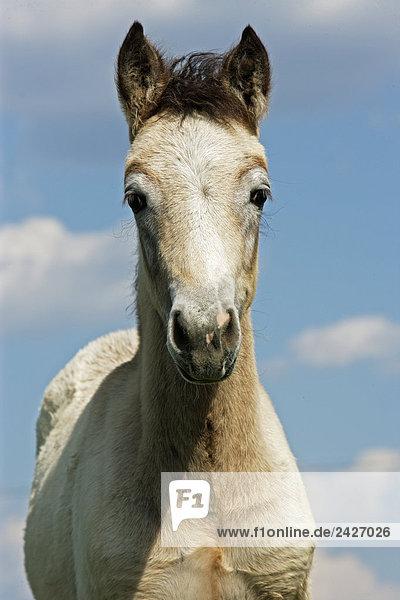 connemara foal - portrait