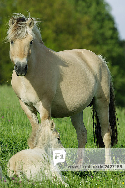 Norwegian fjord horse with foal - on meadow
