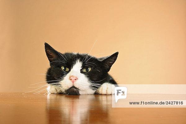 Hauskatze - Kopf und Pfoten auf Tischkante