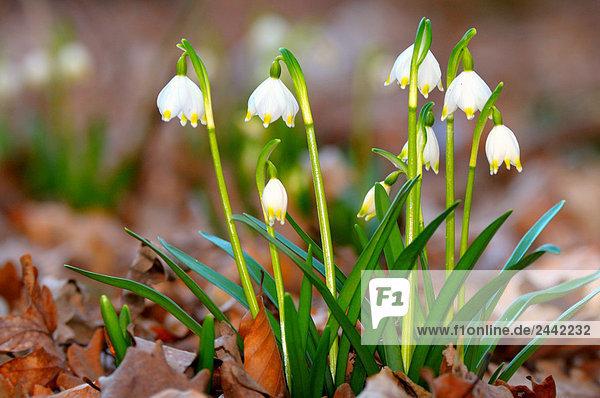 Nahaufnahme-Snowdrop Blumen blühen im Feld