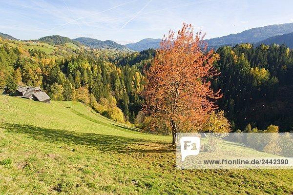 Bäume im Wald  Krakauhintermuehlen  Niedere Tauern  Steiermark  Österreich