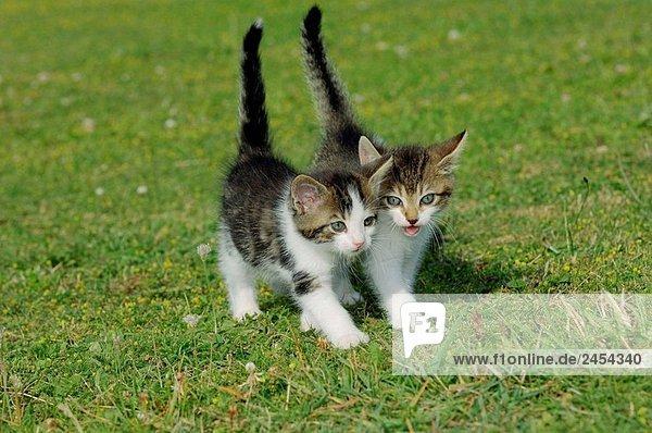 Zwei Kätzchen in Wiese Bayern  Deutschland  Europa
