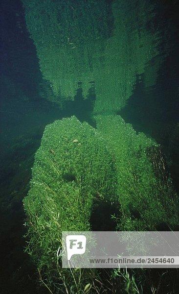Süßwasser. Flüsse. Galicien. Spanien. Süßwasser Pflanzen (Wassersterne Stagnalis)
