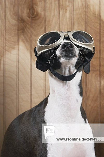 Italian greyhound wearing goggles FAN2042175