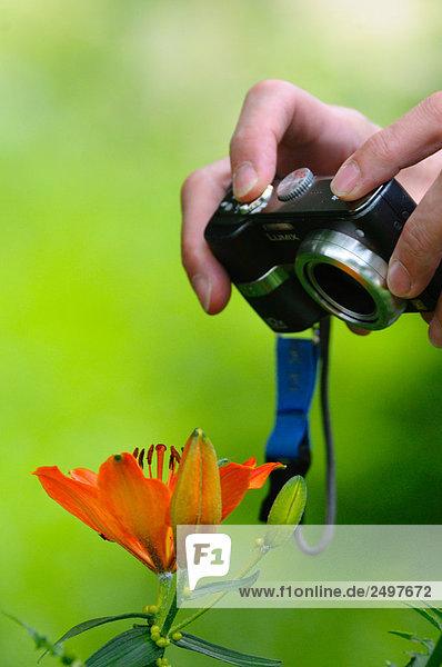 Person  die Hand nehmend Bild der Orange-Lilie (Lilium Bulbiferum) mit Digitalkamera  Steiermark  Österreich