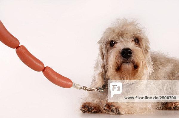Hund  Leine aus Wurst  Nahaufnahme