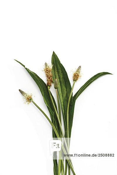 Spitzwegerich (Plantago lanceolata) auf weißem Grund  erhöhte Ansicht