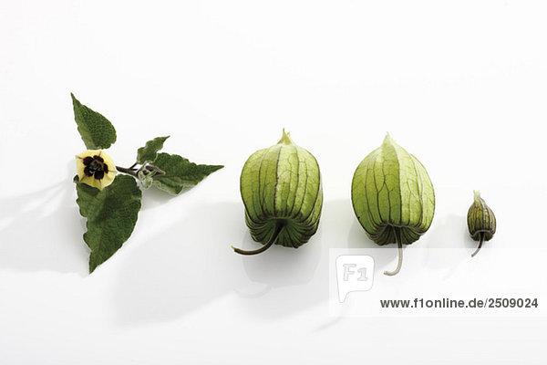 Unreife Physalis-Frucht (Physalis peruviana)  erhöhte Ansicht Unreife Physalis-Frucht (Physalis peruviana), erhöhte Ansicht