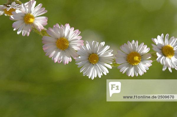 Gänseblümchenkette (Bellis perennis)