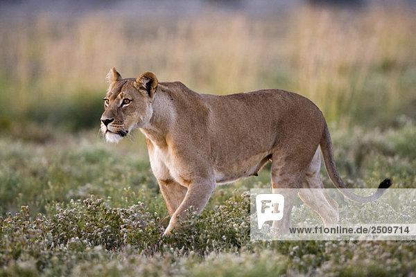 Africa  Botswana  Lioness (Panthera leo)