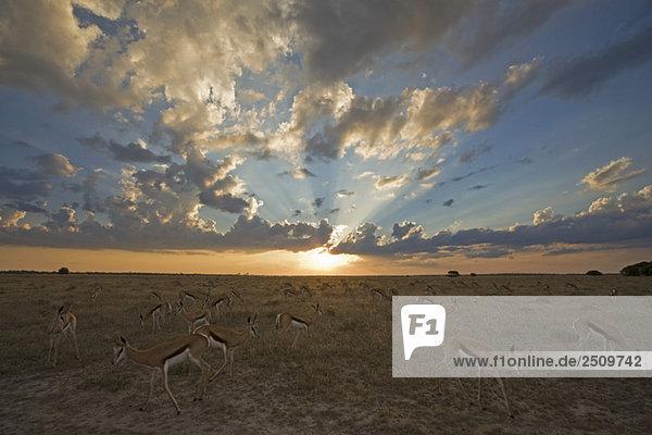 Africa  Botswana  Springbok herd (Antidorcas marsupialis)