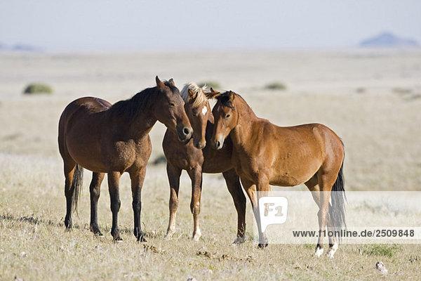 Afrika  Namibia  Aus  Wildpferde