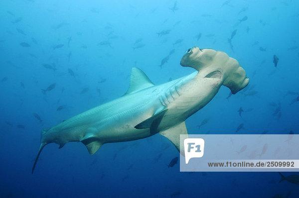 Galapagosinseln  Ecuador  Hammerhai (Sphyrna lewini)  Nahaufnahme