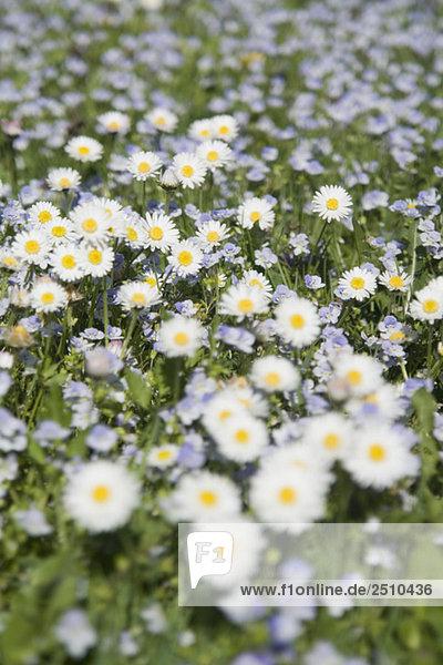Deutschland  Bayern  Wilde Gänseblümchen (Asteraceae)  Nahaufnahme