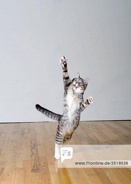 Cat springen
