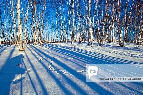 White Birken in Wäldchen mit Schatten White Birken in Wäldchen mit Schatten