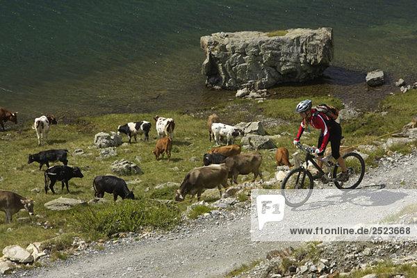 Mountainbikefahrerin fährt an einer Kuhherde vorbei  fully_released