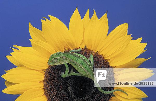 Männlich Teppich Chameleon auf Sonnenblume.