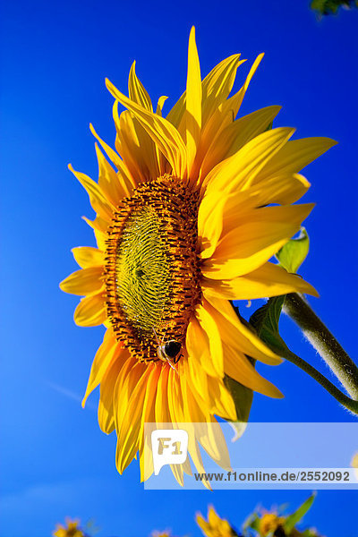 Close-up of blooming Sunflower (Helianthus annus)