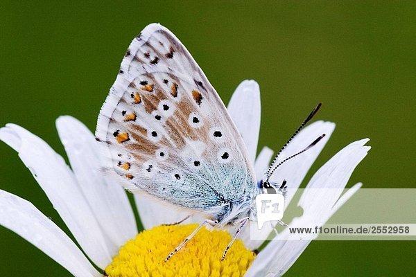 Gemeinsame Blue Butterfly Polyommatus Icarus auf blühen nach dem Regen - Bayern / Deutschland