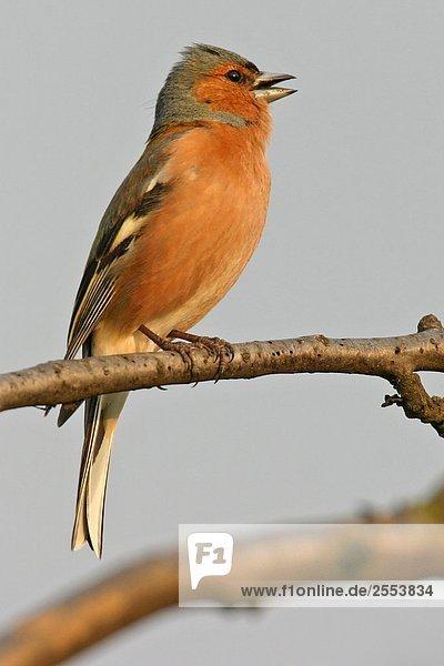 Nahaufnahme der Buchfink (Fringilla Coelebs) hocken auf Zweig