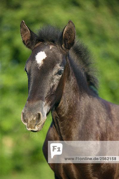 Pura Raza Española foal - portrait