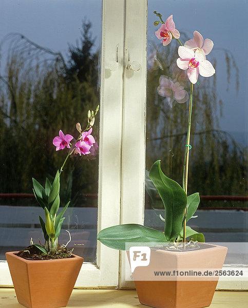 zwei Orchideen am Fenster