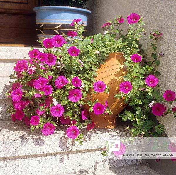 Petunien im Blumentopf