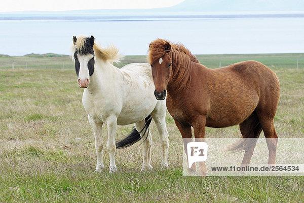zwei Isländer - stehend auf Wiese
