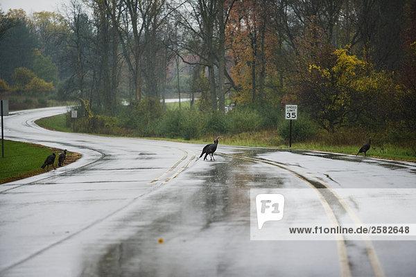 Wilde Truthähne überqueren regnerischen Straße