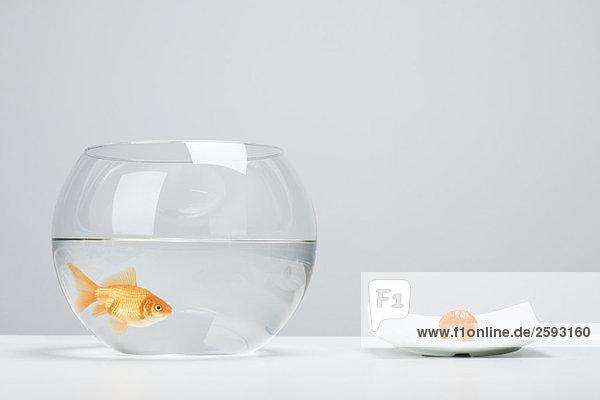 Goldfisch in der Schale neben einem Stück Lachs Nigiri Sushi
