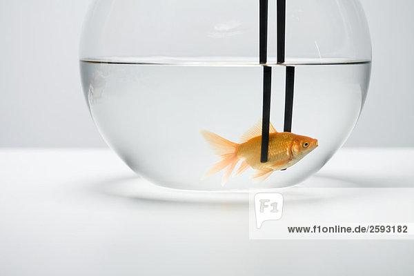 Goldfisch im Fischglas mit Essstäbchen gefangen
