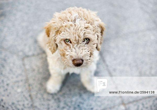 Spanischer Wasserhund  Portrait Spanischer Wasserhund, Portrait