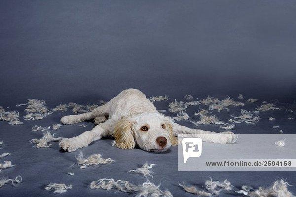 Ein frisch rasierter spanischer Wasserhund mit Haarbüscheln  Studioaufnahme
